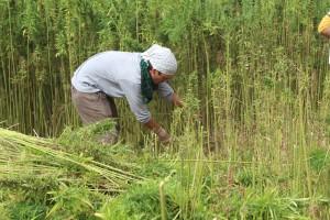 Danisuke de padre japones y madre de Caravaca que reside en España  cultivando cáñamo