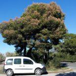 Medio Ambiente informa de la aparición de síntomas de fisiopatía del pino carrasco en la Vega Baja y otras comarcas