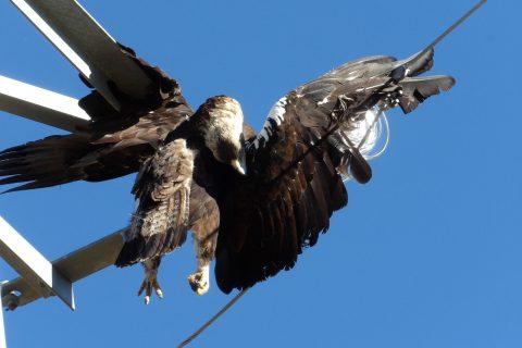 Compromís lleva al Senado la silenciada electrocución de aves protegidas en las líneas aéreas de todo el país que incluye Sierra Escalona