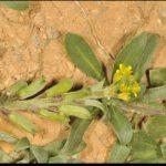 Orihuela estudia solicitar la declaración de una microrreserva de flora tras encontrarse en la Sierra oriolana la mayor población valenciana de una planta vulnerable