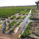 Podemos exige que el Consell asegure queno sustituirá el riego tradicional en la VegaBaja