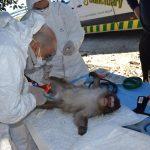 El Ayuntamiento de Guardamar continúa con los expedientes sancionadores hacia el núcleo zoológico que albergaba cinco macacos japoneses sin condiciones de habitabilidad