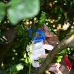 El IVIA inicia el seguimiento de la Tamarixia dryi, la avispilla contra el insecto que contagia el HLB tras sus sueltas experimentales en Galicia y Portugal